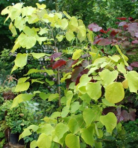 Cercis c. 'Hearts of Gold'