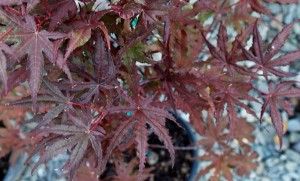 Acer p. 'Purple Ghost'