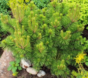 Pinus d. 'Low Glow'