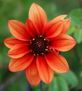Dahlia 'Kingston Queen'