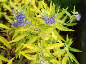 Caryopteris 'Worchester Gold'