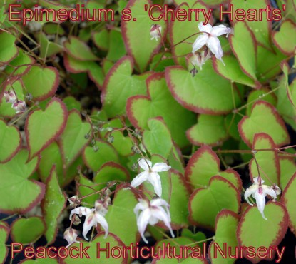 Epimedium s. 'Cherry Hearts'