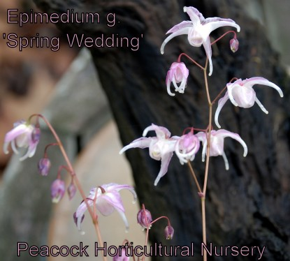 Epimedium g. 'Spring Wedding'