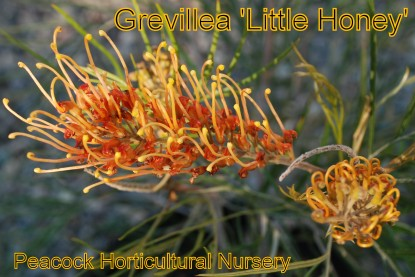 Grevillea 'Little Honey'