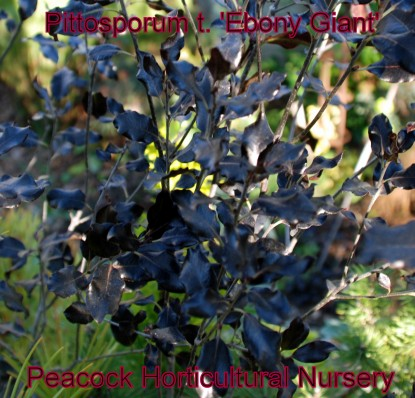Pittosporum 'Ebony Giant'