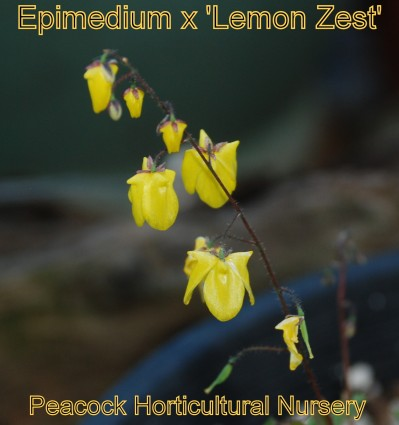 Epimedium x 'Lemon Zest'