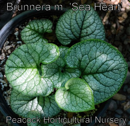 Brunnera m. 'Sea Heart'